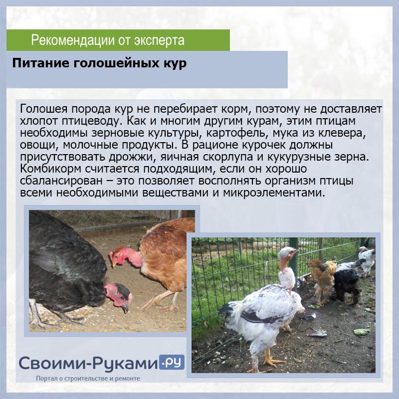 Голошейная порода кур (испанка): описание, выращивание, фото