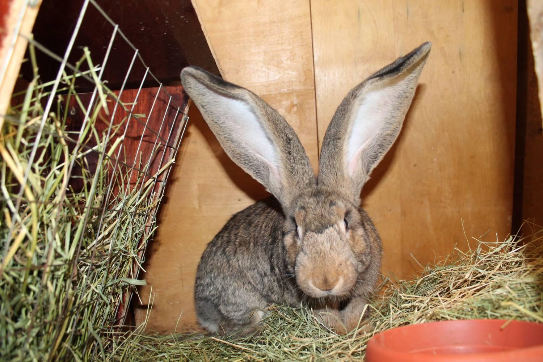 Разведение кроликов породы фландр и их основные характеристики