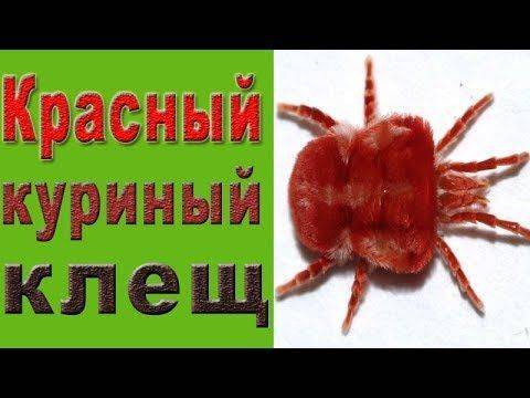 ✅ о борьбе с куриным, перьевым клещом (как избавиться, вывести, чем обработать) - tehnomir32.ru