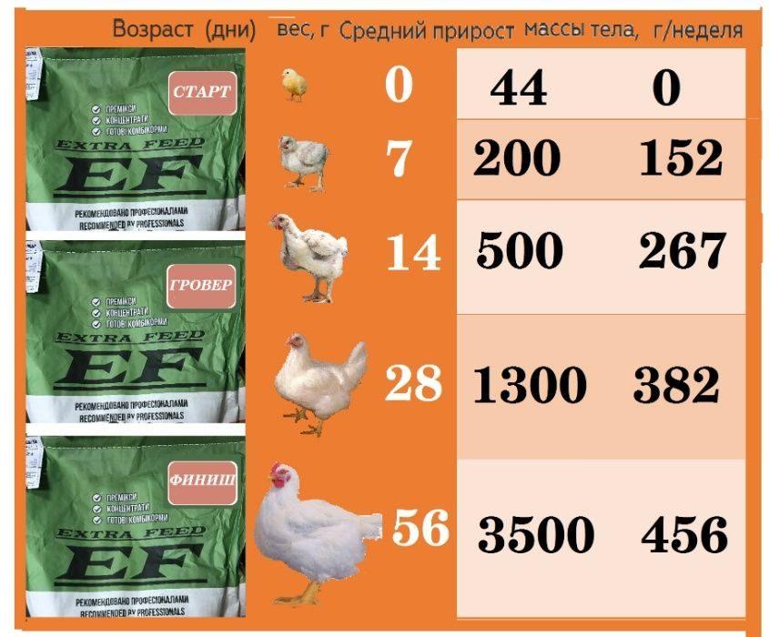 Бройлеры росс 308: кросс относится к мясному направлению, но можно выращивать и в качестве несушек