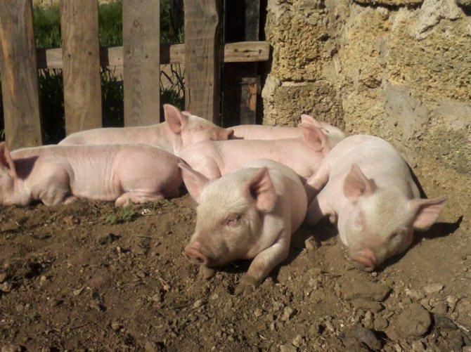 Ландрас – порода свиней мясосального типа с высокой продуктивностью 2020