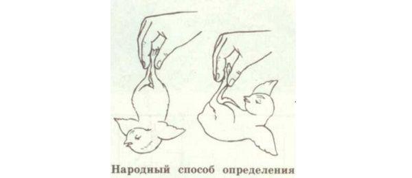 Отличия гусака и гусыни: определение половой принадлежности по внешнему виду