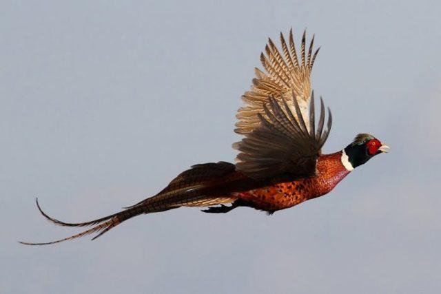 Описание обыкновенного фазана