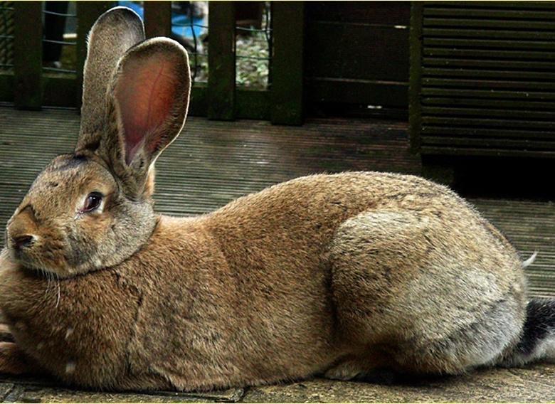 Самый большой и самый маленький кролики в мире: рекордсмены, породы и фото