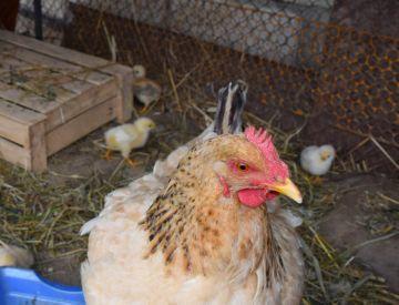 Как насильно посадить курицу на яйца