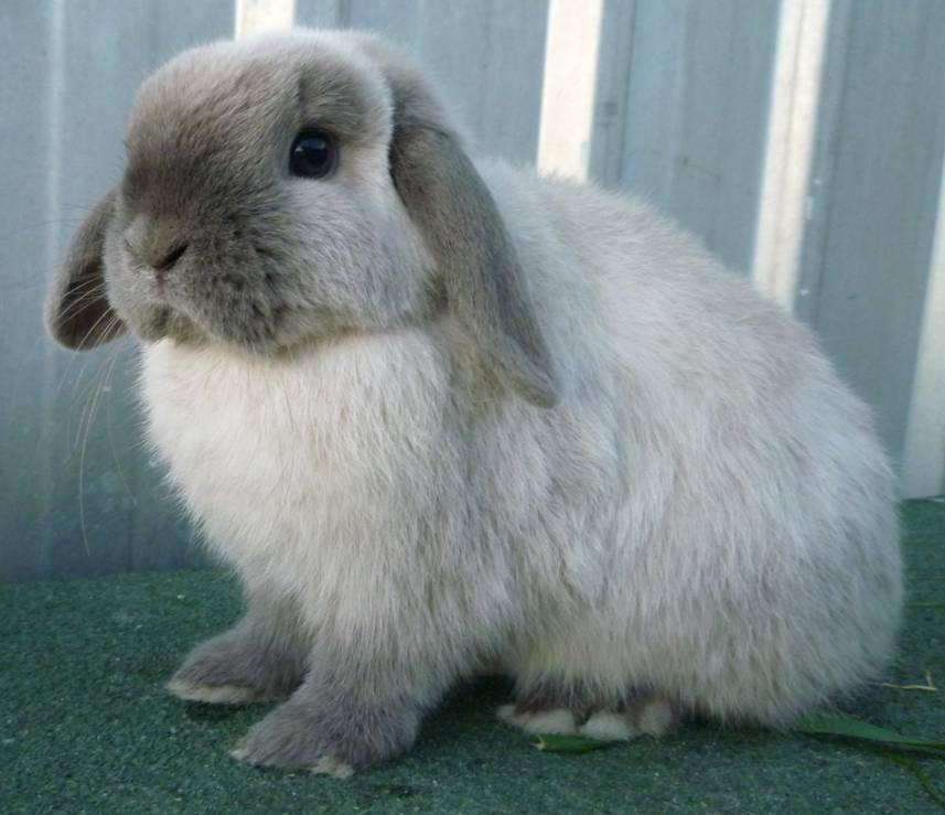Цветной карлик — всем кроликам кролик