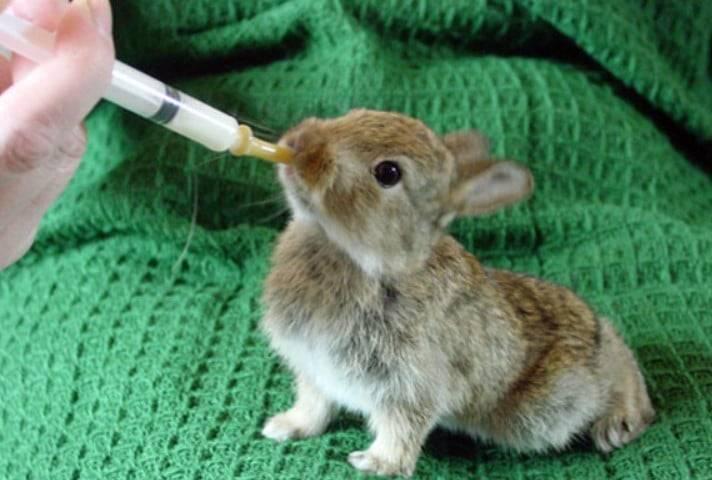 Искусственное кормление новорождённых крольчат.