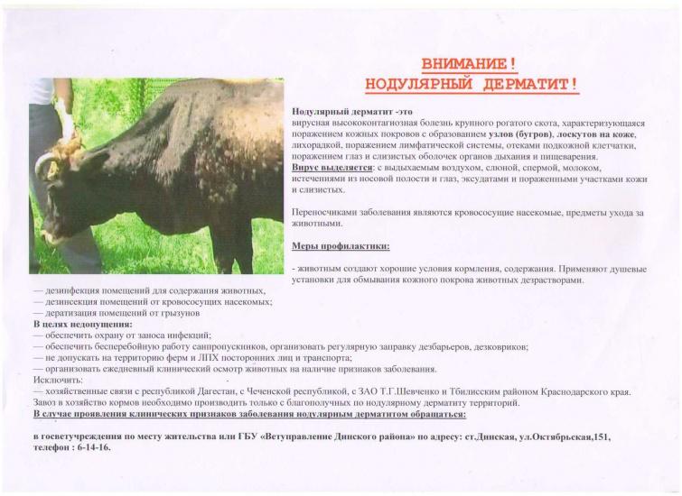 Нодулярный (заразный узелковый) дерматит крупного рогатого скота: симптомы, лечение, вакцинация