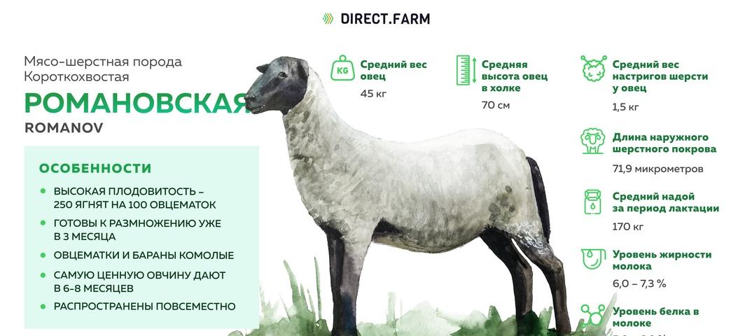 Романовская порода овец. | свое хозяйство
