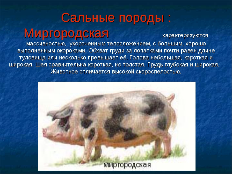 Лучшие породы свиней мясного направления: виды, характеристика, содержание