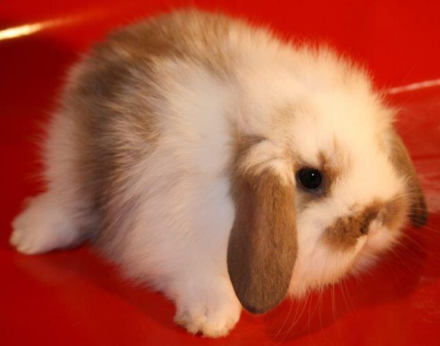 Декоративный кролик вислоухий баран: содержание и уход