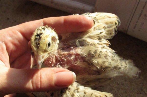 Цыплята бройлеры клюют друг друга до крови – причины такого поведения, профилактика, первая помощь, методы борьбы