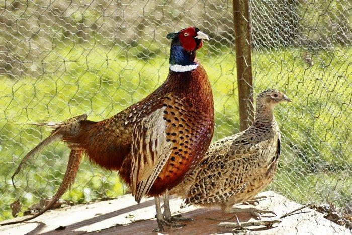 Золотые фазаны: описание птицы и характеристики