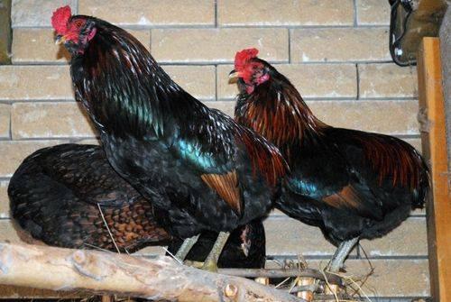 Куры араукана: описание, уход, размножение