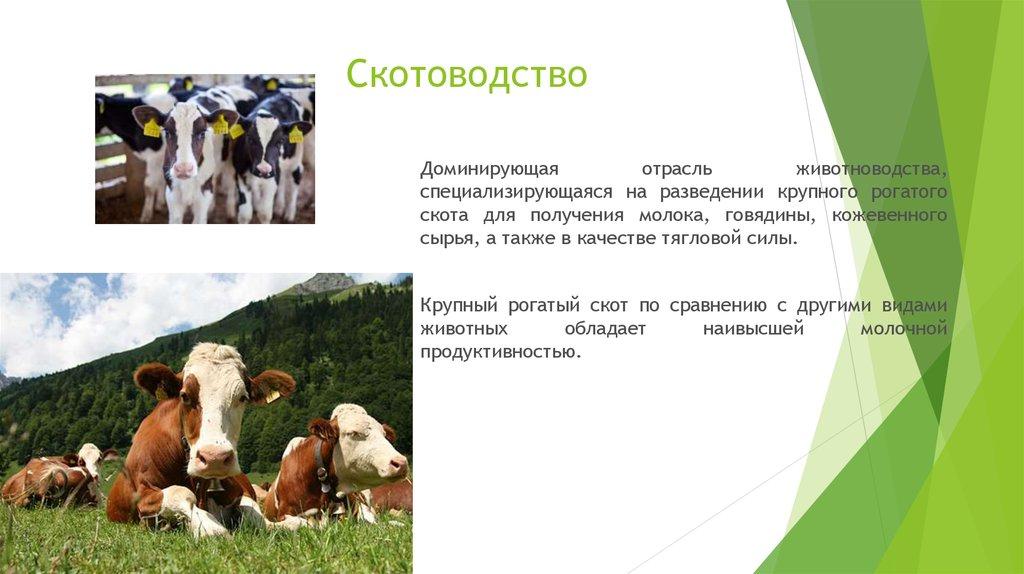Крупный рогатый скот - описание крс