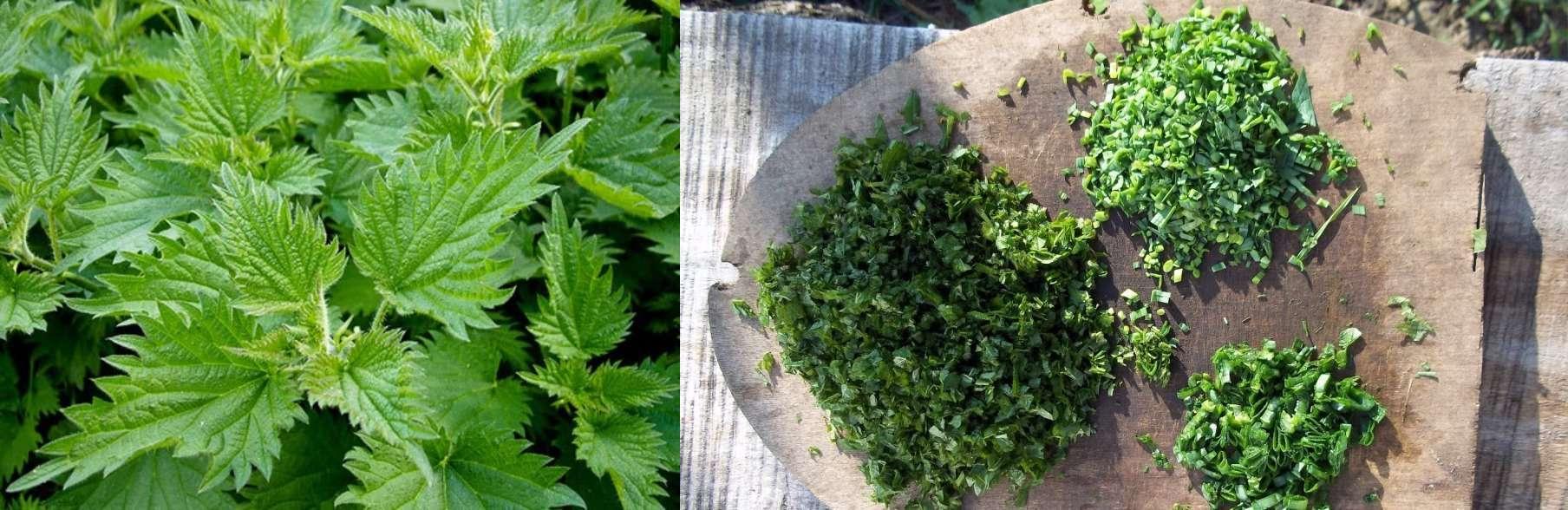 Удобрение из крапивы: как приготовить настой для подкормки растений