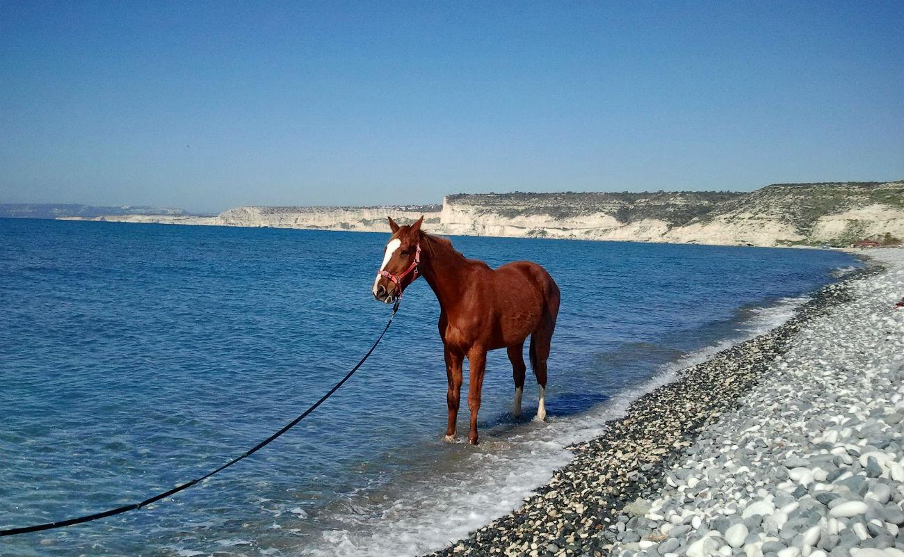 Загнанные лошади: как можно загнать лошадь и что делать с конём после этого