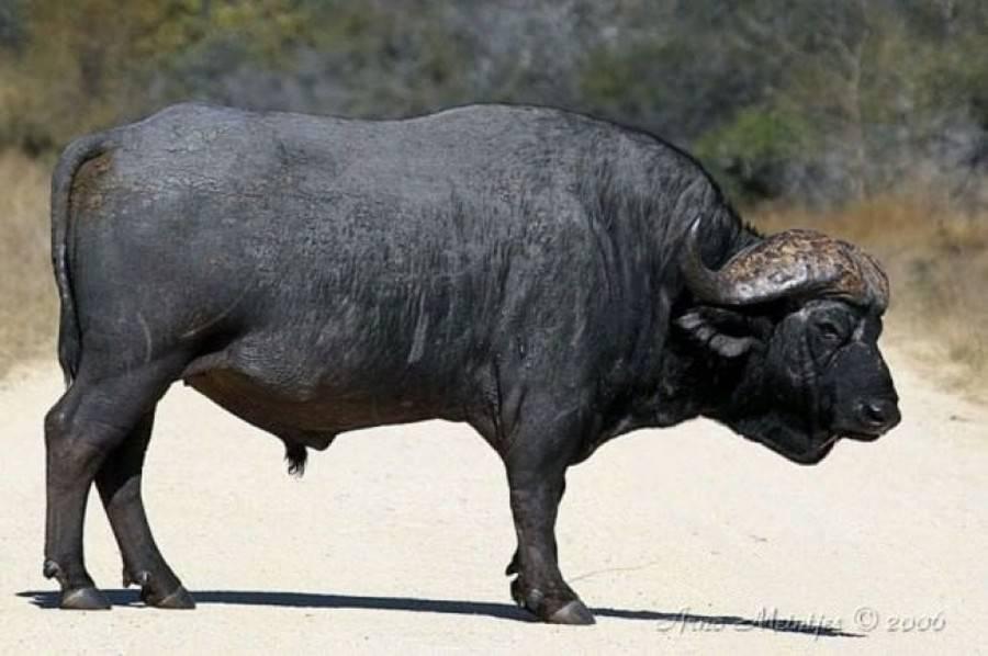 Африканские буйволы: сколько весят, где обитают и бывают ли домашними