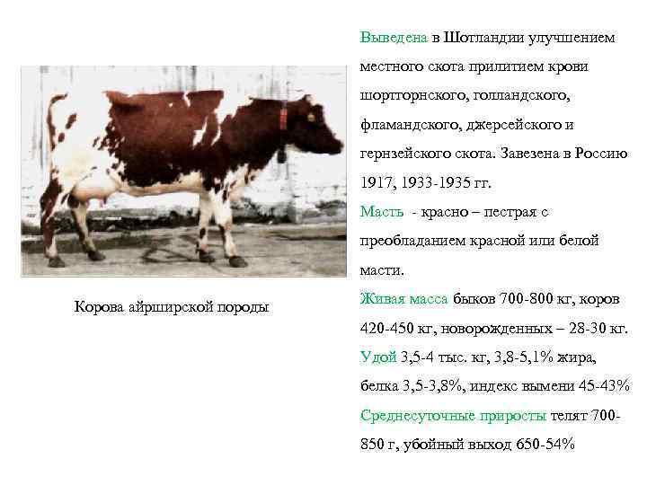 Айширская порода коров: [описание породы, фото, уход, преимущества и недостатки]