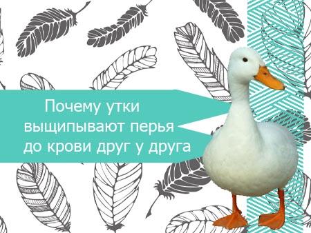 Почему утки выщипывают перья друг у друга и как решить проблему