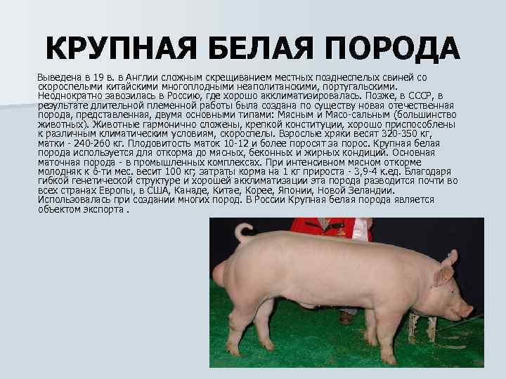 Дюрок – описание мясной породы свиней