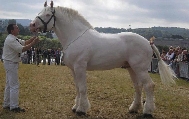 Лошадь битюг: породы тяжеловозных, ломовых русских лошадей