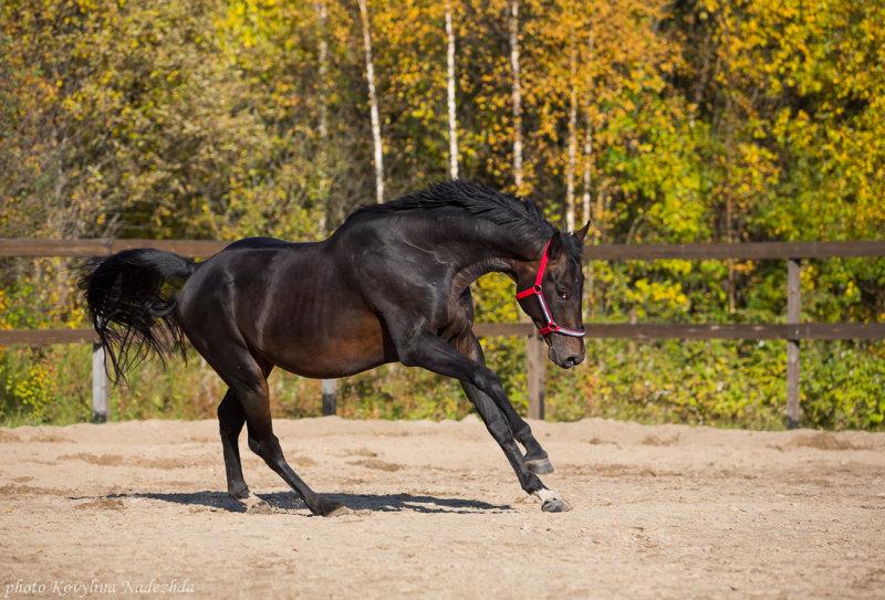 Русская верховая порода лошадей: особенности экстерьера, уход