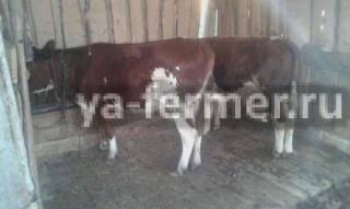 У коровы после покрытия кровяные выделения imother.su- все для будущей мамы