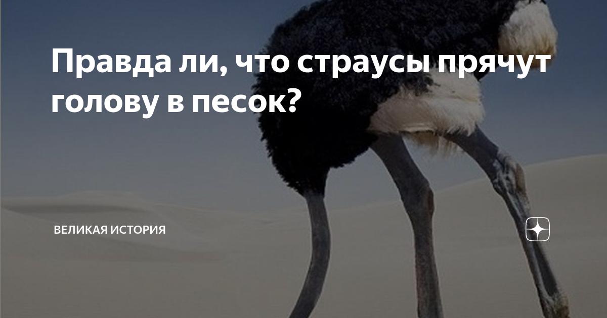 Почему страус прячет голову в песок, для чего он это делает