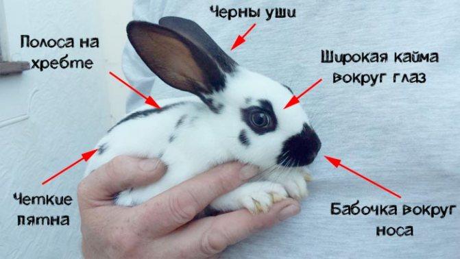 Кролики бабочки – ушастые красавцы в пестрой шубке