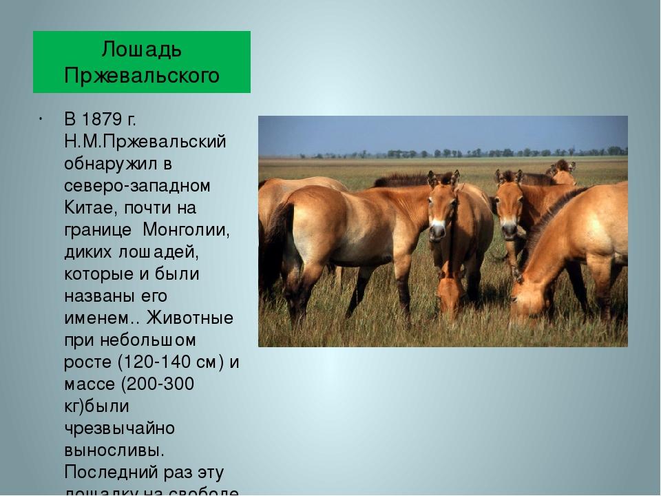 Дети монгольских степей — лошади пржевальского