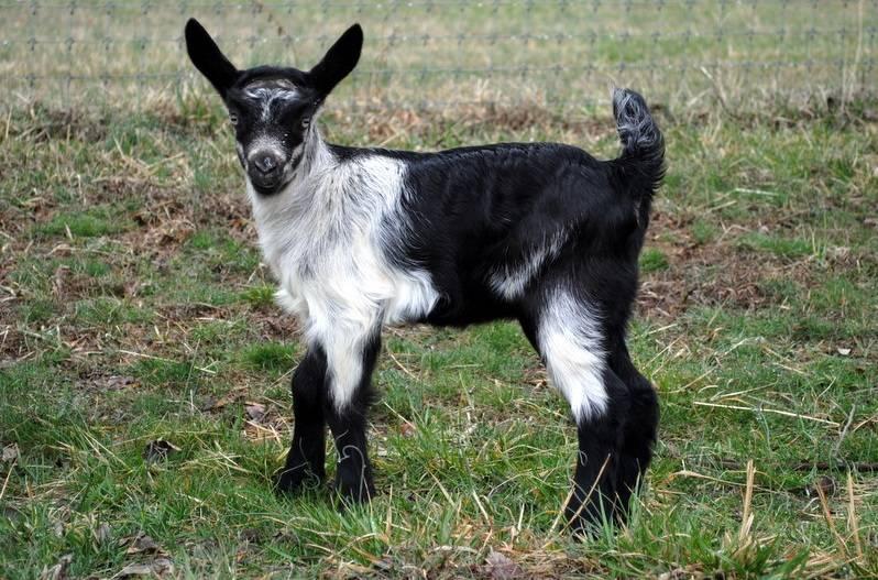 Сколько молока дает коза в сутки: породы молочных коз
