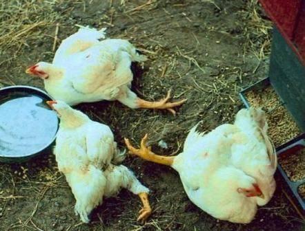 Понос у кур: основные причины и особенности лечения
