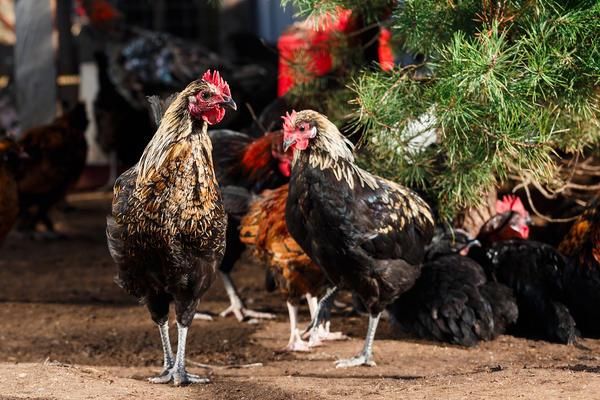 Описание московской черной породы кур