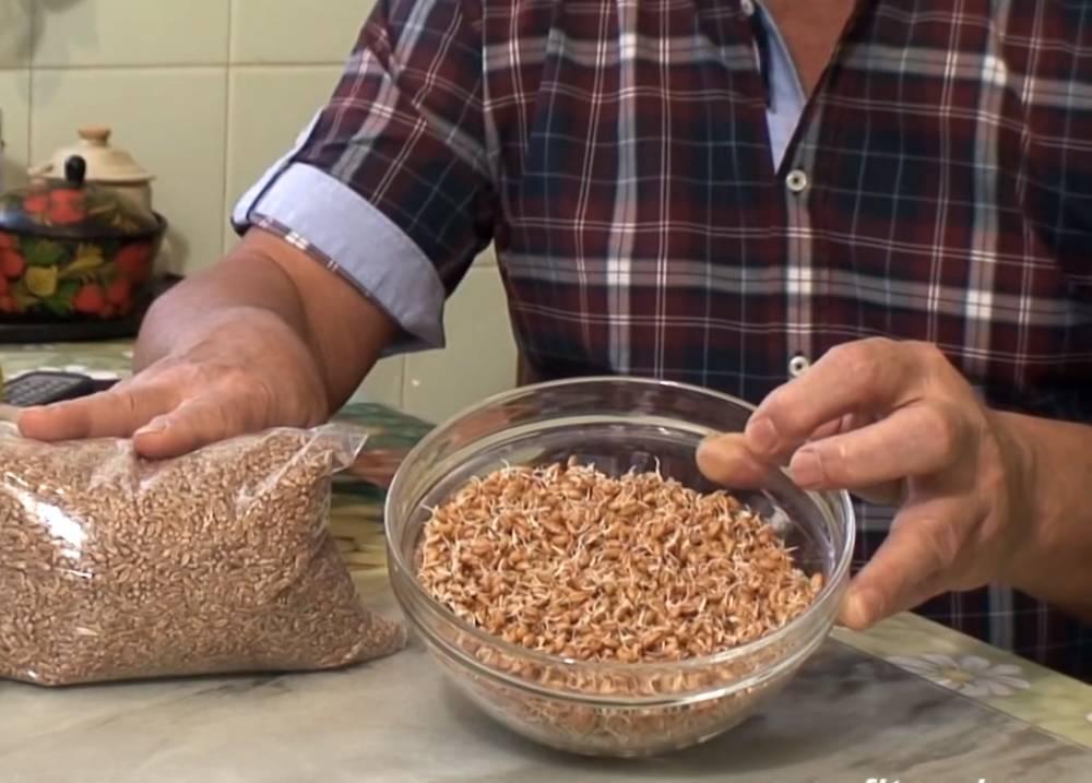 Как проращивать пшеницу для кур и правильно кормить