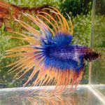Сине-желтая Рыбка Петушок