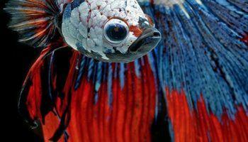 Рыбка петушок — уход и содержание