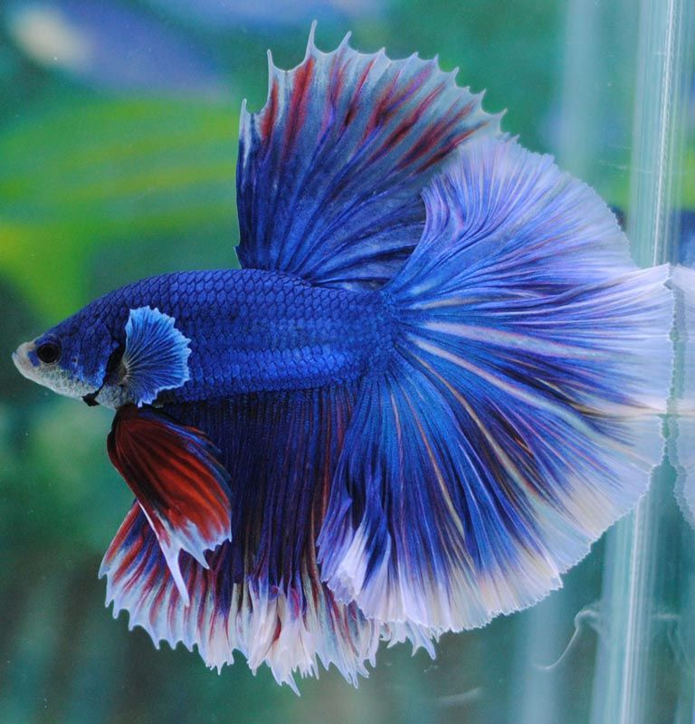 Рыбка с красивым хвостом