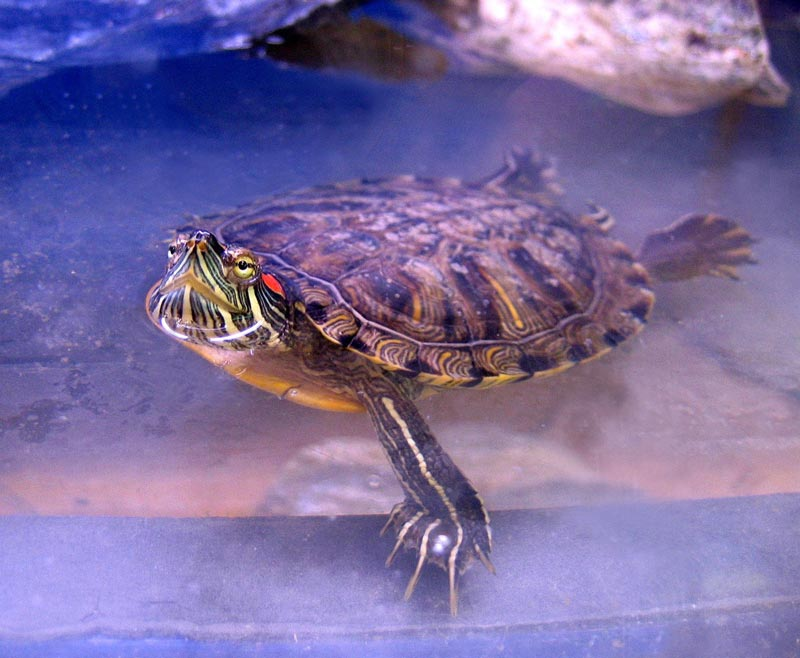 Черепашка в воде