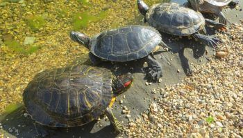Красноухая черепаха: содержание и уход