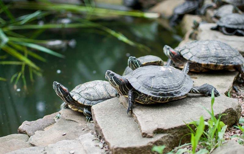 Стайка черепах