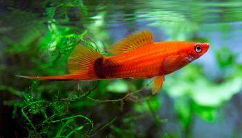 Меченосец — уход и содержание рыбки в аквариуме + фото и описание