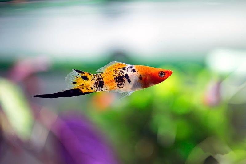 Тигровая рыбка