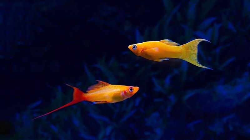 Две рыбки меченосца
