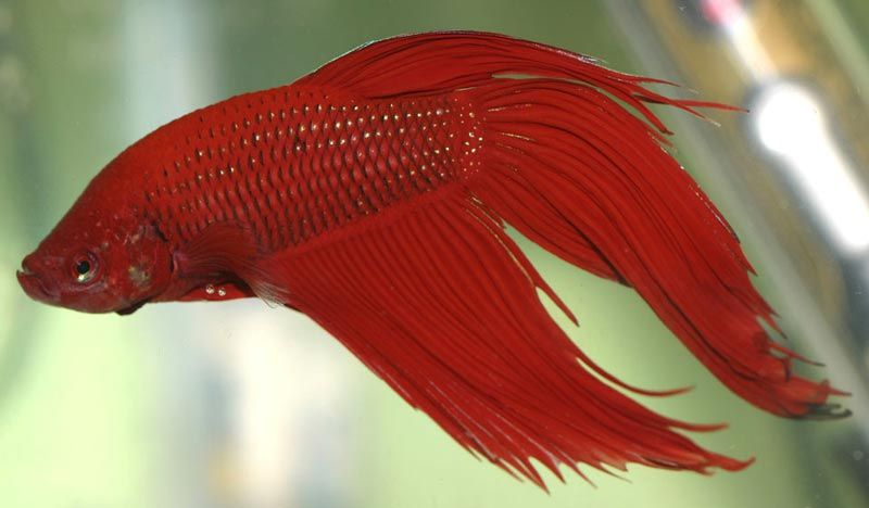 Вуалехвостая рыбка