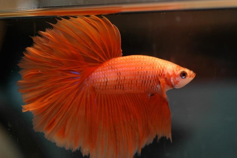 Сиамская рыбка