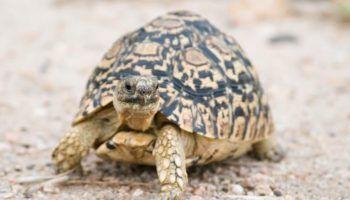 Домашнее содержание сухопутной черепахи