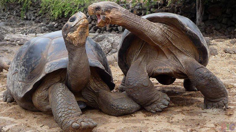 Две большие черепахи