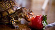 Правильное кормление сухопутной черепахи в домашних условиях