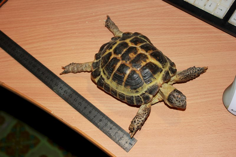 Длина черепахи